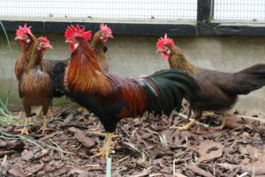 Høns i Geografisk Have