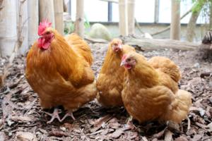 Orpington høns